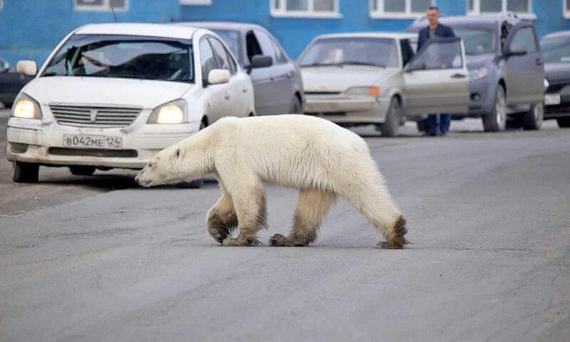 خرس قطبی های چرچیل کانادا