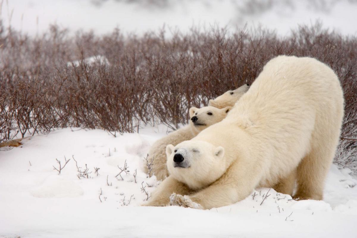 در سفر به کانادا، خرسهای قطبی و شفقهای شمالی را ببینید!