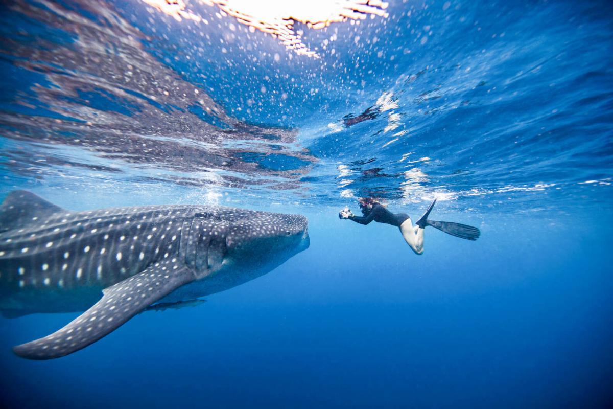 با کوسه های نهنگی شنا کنید تا بهترین تجربه فوران آدرنالین را داشته باشید!